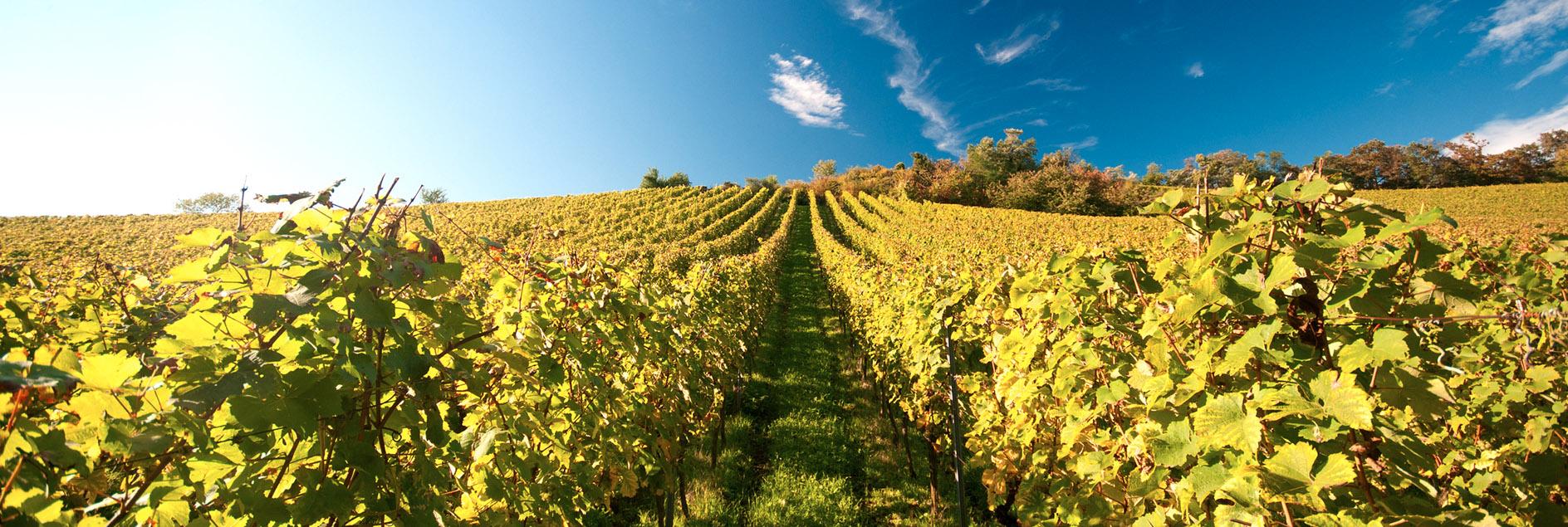 Weinberge Weingut Koppenhöfer